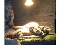 Female Argentina Black and White Tegu 's 2 available