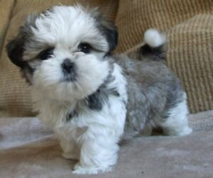 Wanted: WANTED Shihtzu x Toy Poodle; OR Shihtzu-Maltese x Toy Poodle