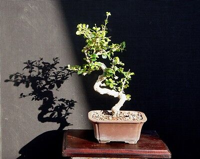 FUKIEN TEA TREE BONSAI INFO AND CARE