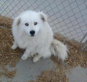 """Adult Female Dog - Samoyed-Mixed Breed: """"Samantha (Sammy)"""""""