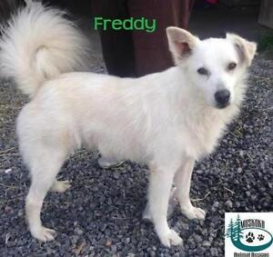 "Adult Male Dog - Spitz: ""Freddy - Sweet personality!"""