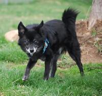 "Senior Male Dog - Pomeranian: ""Arlo"""