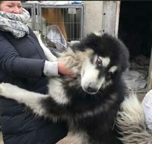 """Young Male Dog - Alaskan Malamute: """"Chimo (China)"""""""