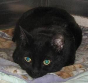 "Adult Male Cat - Domestic Short Hair-black: ""Joel"""