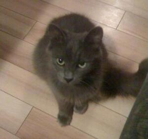 """Adult Female Cat - Domestic Long Hair: """"Fuzzy"""""""