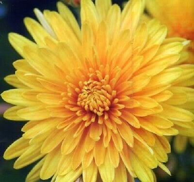 500 YELLOW CHRYSANTHEMUM Morifolium Flower Seeds *Comb ...