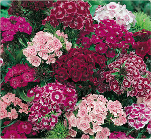 FLOWER SWEET WILLIAM DOUBLE MIX COTTAGE PERFUME 750 FINEST SEEDS