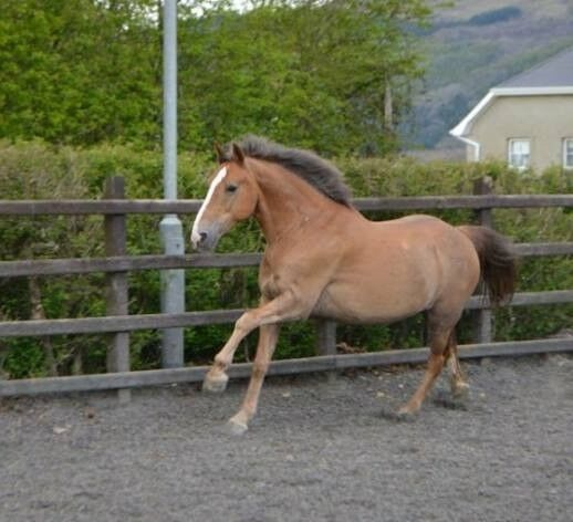 Amazing 14.2 pony with a heart of gold!