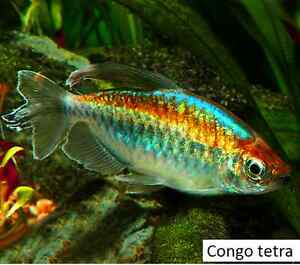 Congo tetras for sale! Large and medium sizes! Tropical aquarium Gawler East Gawler Area Preview