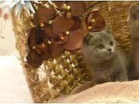 Brtiish Shorthair Blue Kittens