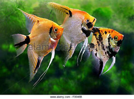 Tropical fish, Two Angelfish for sale