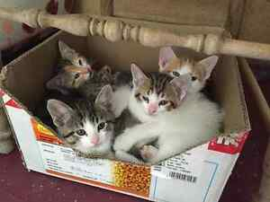 FREE KITTENS 8+ WEEKS OLD