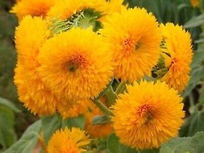 Teddy Bear Sunflower 50 Seeds Beautiful Sunflower