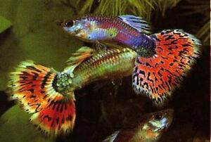 Fancy tail guppies