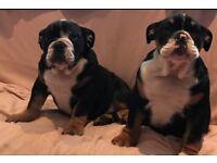English bulldog Male puppies KC Reg