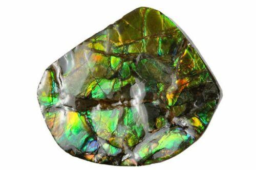 Fossil Ammonite Ammolite Gemstone Brilliant Alberta Canada COA 3841 Free Stand