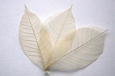 Assorted Leaves - Natural Skeleton Leaves for Crafts ~ 4