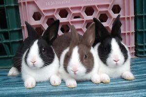 Bébés lapins et lapines Hollandais (Dutch)