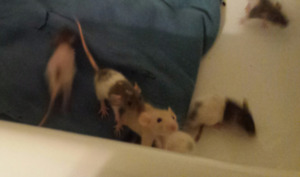 Baby Rats! Need loving homes