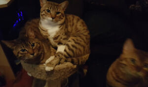 Bengal Cat Boys for Sale