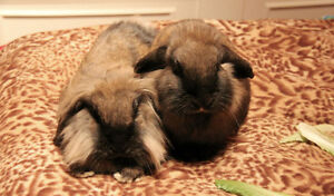 Two Female Lionhead Lopear Rabbits to a Good Home