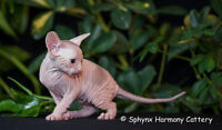 SPHYNX kittens - hairless and adorable