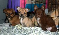 Gorgeous Chihuahua Puppies! 2 Litters! 4 Babies Left!