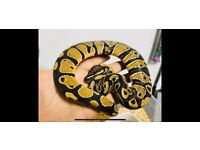 Royal Python with complete set up for sale