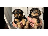 Yorkshire terriers looking for there forever home. Ready to go in 4 wks time. Message for all info