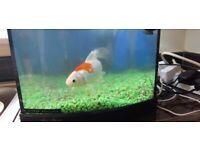1 goldfish and aqua start 320 tank with filter