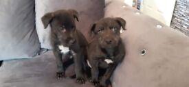 Lab x collie pups