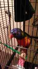 Lost rainbow lorikeet Epping Vic Epping Whittlesea Area Preview