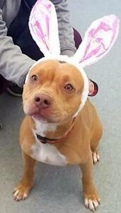 """Young Female Dog - Pit Bull Terrier: """"Bella"""""""