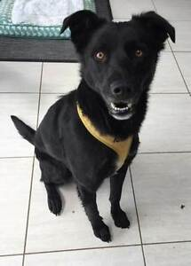 Boof - Medium Male Border Collie x Kelpie Adelaide CBD Adelaide City Preview