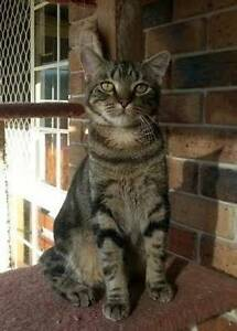 Mondo - KITTEN KAPERS RESCUE Birkdale Redland Area Preview