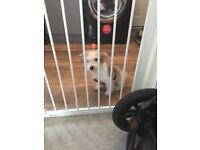 Jack Russell x Bichon Puppy