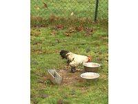 Pekin Bantam cross unknown breed bantam youngster, very attractive and a friendly lad