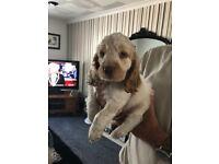 Beautiful Clumber Spaniel x Cocker Spaniel Puppy