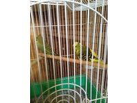 2 budgies and cage for sale job lot