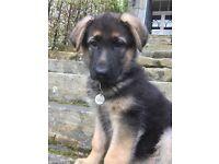 9 week old German Shepard girl