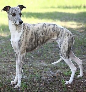 Customized home care for Whippets and Greyhounds in Guelph, ON
