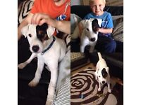Jack russell terrior 9 month old