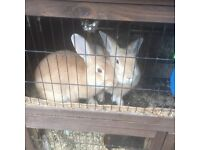 2 x male rabbits and double hutch for Sale