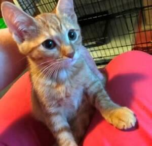 Dana Scully ginger female kitten