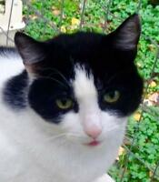 """Young Male Cat - Domestic Short Hair-black and white: """"Hugh"""""""