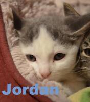 "Baby Male Cat - Domestic Short Hair: ""Jordan - Loves affection!"""