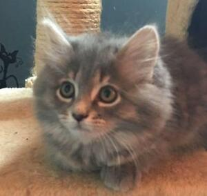 "Baby Female Cat - Domestic Long Hair: ""chatons (25)"""