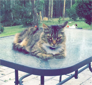WANTED Ragdoll x kitten or long hair kitten Seaham Port Stephens Area Preview