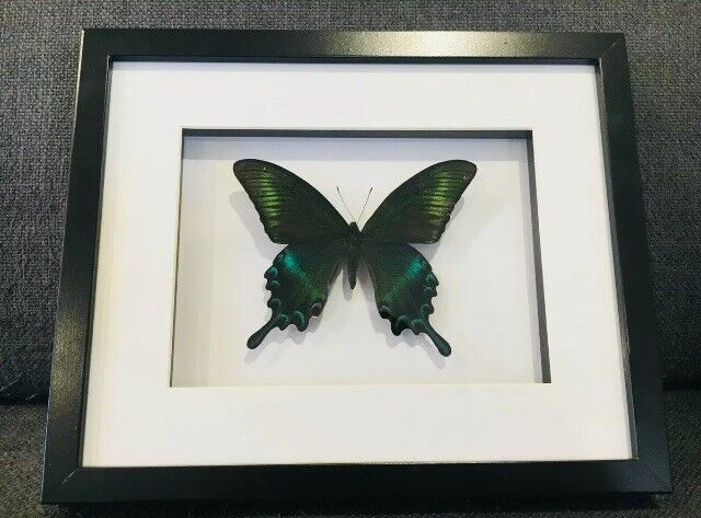 Framed butterfly, Papilio Maackii. insect taxidermy