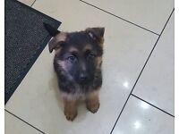 4 stunning german shepherd puppies